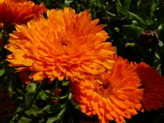 Calendula officinalis nana 'Candyman Orange'