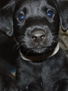 Dog hiccups are quite natural. This black Lab puppy will soon be over them