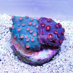 DFS Meteor Shower/Superman Cyphastrea Coral Chalice Coral, Reef Tanks, Reef Aquarium, Meteor Shower, Dfs, Salt And Water, Aquariums, Superman, Underwater
