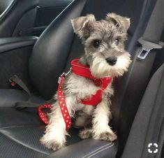 Mini Schnauzer Puppies, Miniature Schnauzer Puppies, Miniature Dogs, Cute Puppies, Cute Dogs, Dogs And Puppies, Doggies, Schnauzers, Chien Fox Terrier