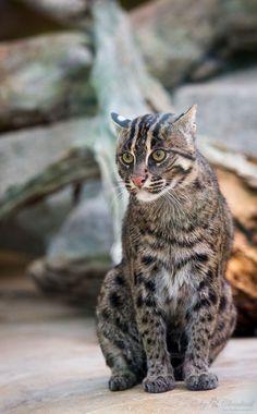Fishing cat (Prionailurus viverrinus)