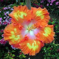 100 гибискус семена цветов, Diy домашний сад в горшках или двор цветочных растений легко   рост купить на AliExpress