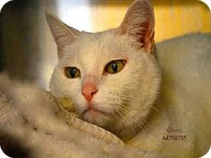 Castaic, CA - Domestic Mediumhair. Meet GHOST, a cat for adoption. http://www.adoptapet.com/pet/12308316-castaic-california-cat