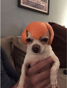 Cute puppy pup with an orange on his head ❤❤❤