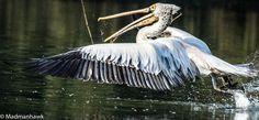 siberian pelican picks up sticks for its nest, via Flickr.