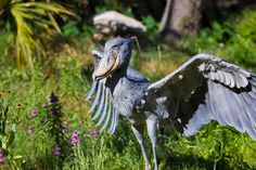 The Shoebill..aka whalehead or shoe-billed stork; lives in tropical east Africa and are quite large