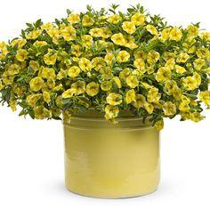 Proven Winners | Superbells® Lemon Slice - Calibrachoa hybrid