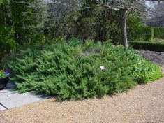 Juniperus horizontalis 'Prince of Wales' is a very low, dense, spreading, foliage is bright light green with bluish overtones. Evergreen Groundcover, Ground Covering, Flowering Shrubs, Prince Of Wales, Propagation, Pathways, Landscape, Plants, Outdoors