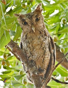 Rockjumper Birding Tours — Pacific Screech-owl, photographed by tour leader...