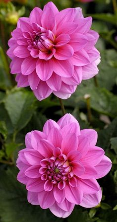 Dahlia Bleusette - how pretty are these?
