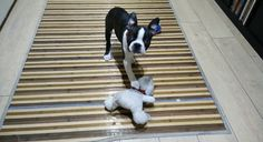 This Boston Terrier Puppy Failed to Tear Off the Teddy Bear's Scarf for 2 Weeks Until Now! Watch ► http://www.bterrier.com/?p=28098 - https://www.facebook.com/bterrierdogs