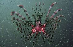 Beautiful and deadly Lionfish. Native to the South Pacific and Indian oceans, they are now invading the Atlantic off the coast of Florida.