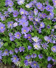 ANEMONE blanda 'Blue Shades' - Balkananamone, farve: blå, lysforhold: halvskygge, højde: 15 cm, blomstring: marts - april, god til bunddække.