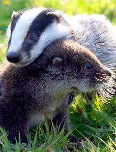 """An Otter And A Badger: """"Best Buddies!"""""""