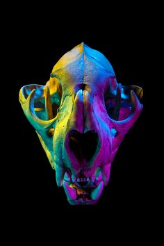 """heycalacademy: """" Mountain lion / CAS-MAM 32286 Scientific name: Puma concolor Collector: R. Bandar Department: Ornithology & Mammalogy, image © Maggie West in collaboration with NightLife """" Skull Reference, Skeleton Art, Illusion Art, Animal Skulls, Animal Skeletons, Skull And Bones, Skull Art, Black Backgrounds, Art Inspo"""