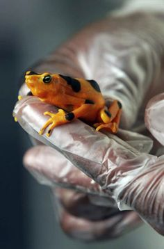 Another golden frog! Apparently they're at risk of extinction because of some fungus.