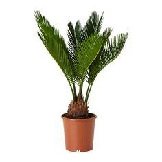 CYCAS REVOLUTA Potted plant IKEA €8