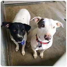 Sonya and Joey, both adorable girls were rescued out of the deadly Devore shelter after being literally dragged and dumped there by their owner. They are bonded girls and we think that Sonya is Joey's mom. We would like to see them be adopted together. Sonya is full of personality and Joey is a bit shy. Both are super sweet! Sonya is a bull terrier mix and Joey is also a mix, but much smaller. Sonya is 3 and Joey is 1. We would like to find a home together. They do get along with dogs, but…