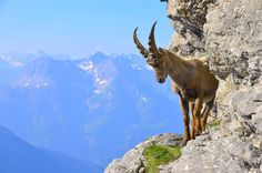 The Alpine Ibex: 20 to observe animals in their natural state in France - In 1963 the first French National Park, the Parc de la Vanoise, was created to protect this species of Ibex. This animal occupies mainly the Alps in the Haute-Savoie départements, Savoie, Isère, Drôme, Hautes-Alpes, Alpes de Haute Provence and Alpes Maritimes. We can calculate his age thanks to the number of circular rings adorning his horns! © Fotolia - thier