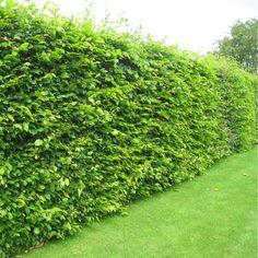 Carpinus Betulus - Hedging Pack Hornbeam Hedging Plants