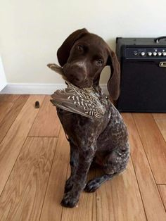 German Shorthaired Pointer We've preserved lots and lots of quail wings from this season to give soph as toys when she comes home. Gsp Puppies, Pointer Puppies, Pointer Dog, Labrador Puppies, German Shorthaired Pointer Black, Cute Dogs, Big Dogs, Organic Dog Food, Hunting Dogs