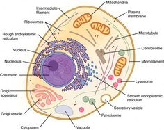 This Schematic Diagram Shows A Generic Animal Cell And The Organelles Including Nucleus Endoplasmic Reticulum Golgi Aratus Ribosomes Lysosomes