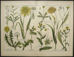 1886 Antique FLOWERS and DANDELIONS print by TheOldPrintsCabinet
