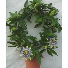 Golgotavirág, Passiflora kör 45cm - virágzó növények - Virág-online.hu. Kert, dísznövény,virág ?! Kertészeti webáruház.