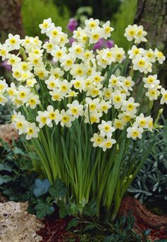 Narcissus tazetta 'Minnow' from Netherland Bulb Company - Minnow is one of the smallest of all narcissus and daffodils. The miniature pale yellow blooms resemble those of their larger cousins except these little plants offer multiple flowers per stem.  Narcissus are easy to grow in well-drained soil in full sun to partial shade and are well known to be deer resistant. Tazetta Narcissus are bunch flowering narcissus. They produce several flowers per stem; usually a minimum of three or four.