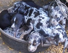 "Catahoula working hogs | Salty Dog Catahoulas--""Got A Job To Do??? Get A Saltydog!!!"""