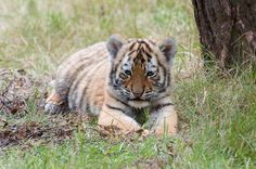 Tiger Cub - So cute and fluffy | Flickr - Photo Sharing!