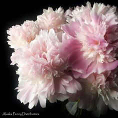 Light blush peonies produced in Alaska late July/early August. This variety is called Marie Lemonie and can be shipped nationwide for events! Blush Peonies, White Peonies, Peony, Color Themes, Perennials, Alaska, Wedding Flowers, Bloom, Events