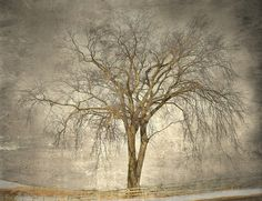Winter Cottonwood by Jamie Heiden