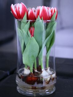 Easy and simple: How to grow tulips and daffodils in a vase without soil: - The Real Healthy Thing Growing Tulips, Bulbous Plants, Indoor Vegetable Gardening, Tulip Bulbs, Table Flowers, Deco Table, Hydroponics, Daffodils, Spring Flowers