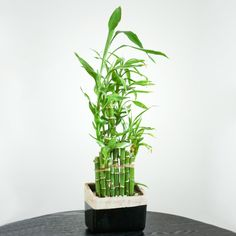 Check out these Lucky Bamboo Care Tips to learn how to grow this low care houseplant. It's perfect for your office desk, kitchen counter or as a table centerpiece! Lucky Bamboo Care, Lucky Bamboo Plants, Feng Shui, Best Office Plants, Lucky Plant, Stone Planters, Hydroponic Plants, Garden Web, Start Ups