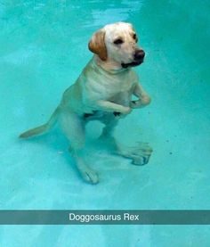 Doggosaurus Rex.  Yellow lab.