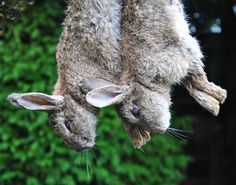 How to: skin, gut, cook rabbit (not a link for those with a weak stomach.) Putting this under Homesteading since I intend to have meat rabbits. Survival Food, Homestead Survival, Wilderness Survival, Camping Survival, Outdoor Survival, Survival Prepping, Survival Skills, Outdoor Camping, Meat Rabbits