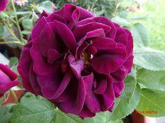 'Rose du Roi à Fleurs Pourpres', 1845