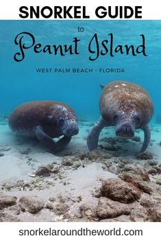 Peanut Island complete snorkel guide that tells you how to get to the island, when is the best time to visit, what to bring, what to do and where to snorkel. Swim with manatees, observe tropical fish, go kayaking, paddle boarding and camping on Peanut Island Riviera Beach! #peanutisland #rivierabeach #manatee