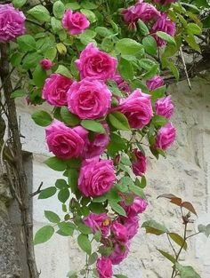 Cascading Roses ...