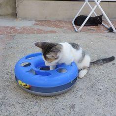 Objetivo do dia: tirar a bolinha do brinquedo! Alcançado? Claaaaro que não, mas valeu a tentativa  #boladao #horadabrincadeira --------------------------------------------------- www.catland.org.br www.catlandlojinha.com.br  catlandrescue@gmail.com --------------------------------------------------- #catland #gocatland #catlandrescue #instacats #catlovers #catsofinstagram #catoftheday #ilovecats #adote #adotenãocompre