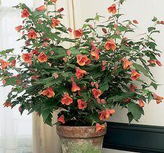 http://www.plantsrescue.com/abutilon-hybridum/Flowers may be red, yellow, pink, orange or peach
