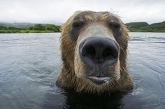 When wildlife photographer Michael Roggo visited Kamchatka in Russia, had a mission: to photograph brown bears as they fish from a very close distance. Description from oddities123.com. I searched for this on bing.com/images