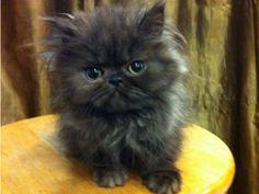 PERSIAN KITTEN, BLACK, MALE, 11WKS; TORTI POINT ...
