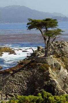 lone cypress in Carmel, Calif.