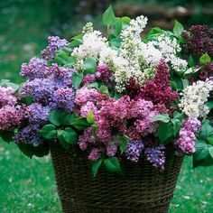 an awesome bouquet of lilacs  plus...How to grow lilacs | Types of lilacs