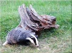 One of our regular visitors! A badger on Speyside.