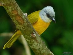Gray-headed Tanager, Costa Rica