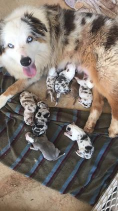 Australian Shepherd Puppies: Pictures And Facts - Dog Breeds Super Cute Puppies, Cute Baby Dogs, Cute Dogs And Puppies, Doggies, Tiny Puppies, Australian Shepherd Puppies, Aussie Puppies, Mini Australian Shepherds, Baby Animals Pictures