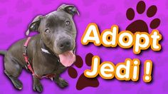 Adopt Jedi! // Pit Bull // Adoptable Featurette… #funnypetvideos #funnyanimals